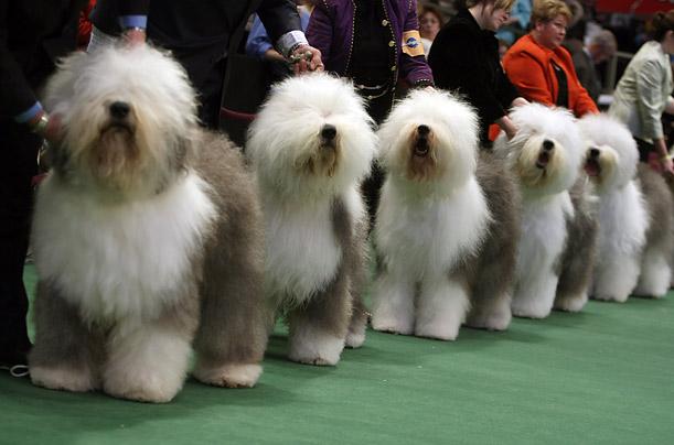 showdaysinfo dog show schedules u0026amp information dog shows 611x404